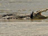 Te innige band krokodil en motorrubber